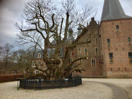 De acacia en de linde bij kasteel doorwerth weer gesnoeid deze week.